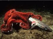 Clip: Kinh hoàng cảnh bạch tuộc khổng lồ săn giết cá mập