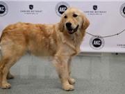 Phát hiện bệnh nhân mắc bệnh ung thư vú nhờ chó