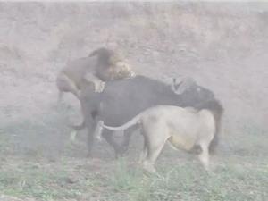 Clip: Trâu rừng thoát chết khó tin trước hàm răng 5 con sư tử