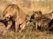 Clip: 15 con linh cẩu vây giết sư tử