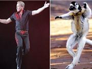 Vượn cáo nhún nhảy như vũ công chuyên nghiệp