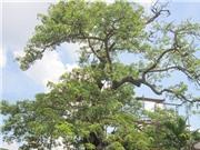 Ca cấp cứu 'thần kỳ' cho cây linh hồn ở Văn Miếu Mao Điền