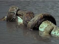 Clip: Trăn khổng lồ nuốt gọn cá sấu