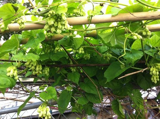 Hướng dẫn trồng cây thiên lý cho nhiều hoa, ít sâu bệnh