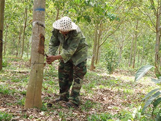 Kon Tum: Phát triển cao su tiểu điền ở Đắk Tô – Hướng thoát nghèo bền vững