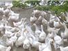 Bùng phát dịch cúm gia cầm ở Hà Tĩnh