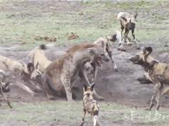 Clip: Bầy chó hoang châu Phi hành hạ linh cẩu