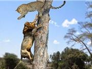 Clip: Bầy sư tử trèo cây cướp mồi của báo