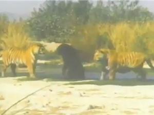 Clip: Hổ Bengal giao chiến với gấu đen Bắc Mỹ