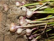 Kỹ thuật trồng và chăm sóc tỏi tại nhà đơn giản
