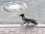 KỲ LẠ: Chim đầu to đỡ chết vì tai nạn giao thông hơn