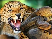 Clip: Báo đốm tấn công trăn, trả thù cho con