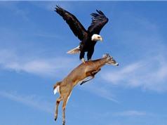 Clip: Đại bàng suýt chết khi săn dê núi
