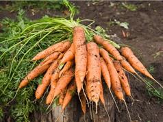 Mẹo trồng cà rốt trong thùng xốp cho năng suất cao