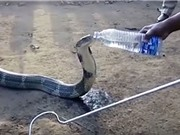 Hổ mang chúa khổng lồ bò vào nhà dân xin nước uống