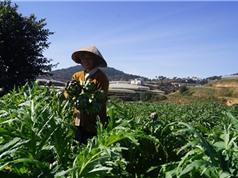 Nông dân Đà Lạt thu lãi hàng trăm triệu đồng nhờ bán lá atiso