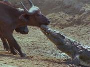 """Clip: Trâu rừng thoát chết """"thần kỳ"""" trước hàm cá sấu"""