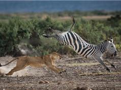 """Clip: Ngựa vằn tung """"tuyệt chiêu"""" đá trúng mặt sư tử"""