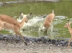 Clip: Cá sấu phi thân tóm gọn linh dương Impala