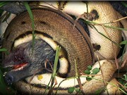 Clip: Trăn Miến Điện khổng lồ giết chết lợn rừng