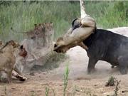 CLIP ĐỘNG VẬT ĐẠI CHIẾN ẤN TƯỢNG NHẤT TUẦN: Mổ bụng trăn lấy xác người, trâu rừng húc chết sư tử