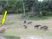 Clip: Trâu rừng tấn công hổ giải cứu đồng loại