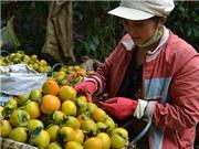 Lâm Đồng xây dựng nhãn hiệu chứng nhận hồng ăn trái Đà Lạt