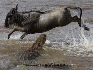 """Clip: Cuộc vượt sông """"đẫm máu"""" trước hàm cá sấu"""