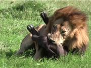 Clip: Sư tử đực sát hại trâu rừng con dã man