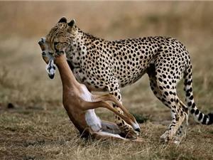 """Clip: Cuộc săn """"quá nhanh và nguy hiểm"""" của sát thủ tốc độ"""