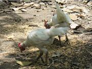 Đàn gà rừng đột biến gen 500 triệu, đại gia Thái mua không bán