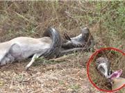 Clip: Trăn khổng lồ bị sừng linh dương đâm xuyên họng
