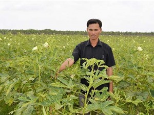 An Giang trồng đậu bắp xuất khẩu