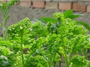 Kỹ thuật trồng và chăm sóc cải xoăn Kale trong thùng xốp