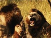 """Clip: """"Rợn người"""" với cảnh sư tử đực tàn sát đồng loại"""