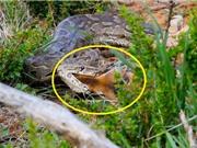 Clip: Linh dương Impala bất lực nhìn trăn đá châu Phi nuốt chửng con