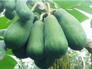 Hướng dẫn trồng đu đủ trong chậu