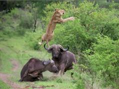 """Clip: Trâu rừng tung cú húc """"trời giáng"""" khiến sư tử bay cao 5m"""
