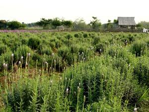Ngắm vườn hoa oải hương 1.500 m2 đầu tiên ở Hà Nội