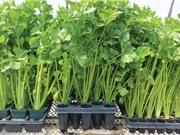 Kỹ thuật trồng và chăm bón rau cần tây tại nhà