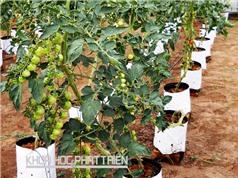 Kiến nghị từ Bến Tre: Cần hỗ trợ phát triển cà chua picota công nghệ cao