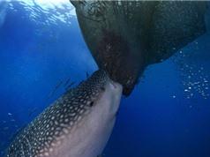 Clip: Cá nhám voi khổng lồ trộm cá của ngư dân