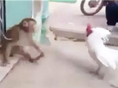 """Clip: Gà trống """"tỷ thí võ nghệ"""" với khỉ và cái kết bất ngờ"""
