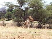 Clip: Sư tử bay người lên không giết hươu cao cổ