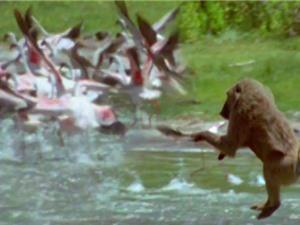 Clip: Khỉ đầu chó săn chim hồng hạc cực kỳ dã man