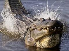 """Clip: Màn """"cưa gái"""" độc đáo của cá sấu Trung Mỹ"""