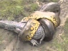 CLIP ĐỘNG VẬT ĐẠI CHIẾN ẤN TƯỢNG NHẤT TUẦN: Cá sấu tử chiến với trăn khổng lồ, trâu rừng húc bay sư tử