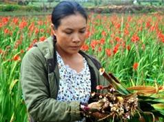 Lâm Đồng: Phun thuốc bảo vệ thực vật cho hoa, nông dân khóc ngất