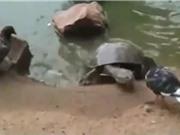 """Clip: Pha săn bồ câu """"nhanh như chớp"""" của rùa"""