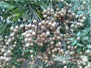 Kinh nghiệm trồng và chăm sóc nhãn lồng Hưng Yên